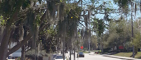 spanish moss harmful trees
