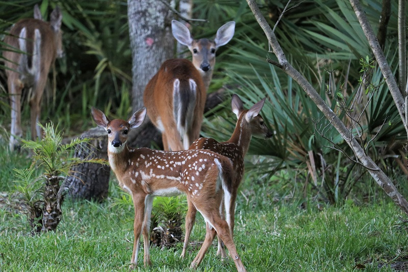 Deer family by Trish Hale at Graham Swamp